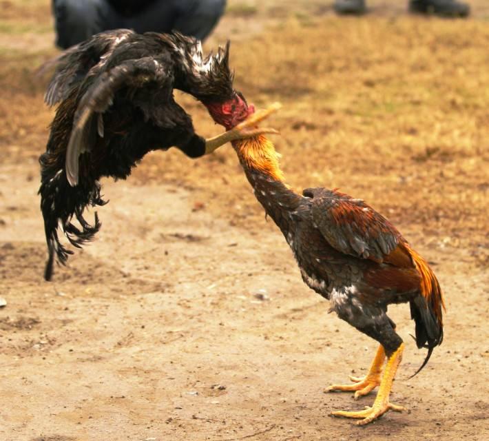 Особенности бойцовых петухов и кур, их разновидности с фото представителей