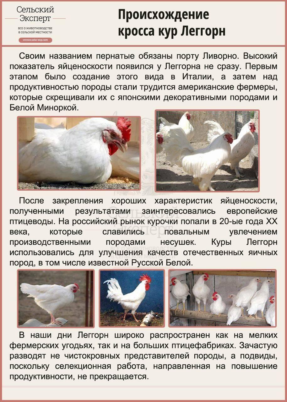 Какие породы кур несут самые крупные яйца: описание, фото
