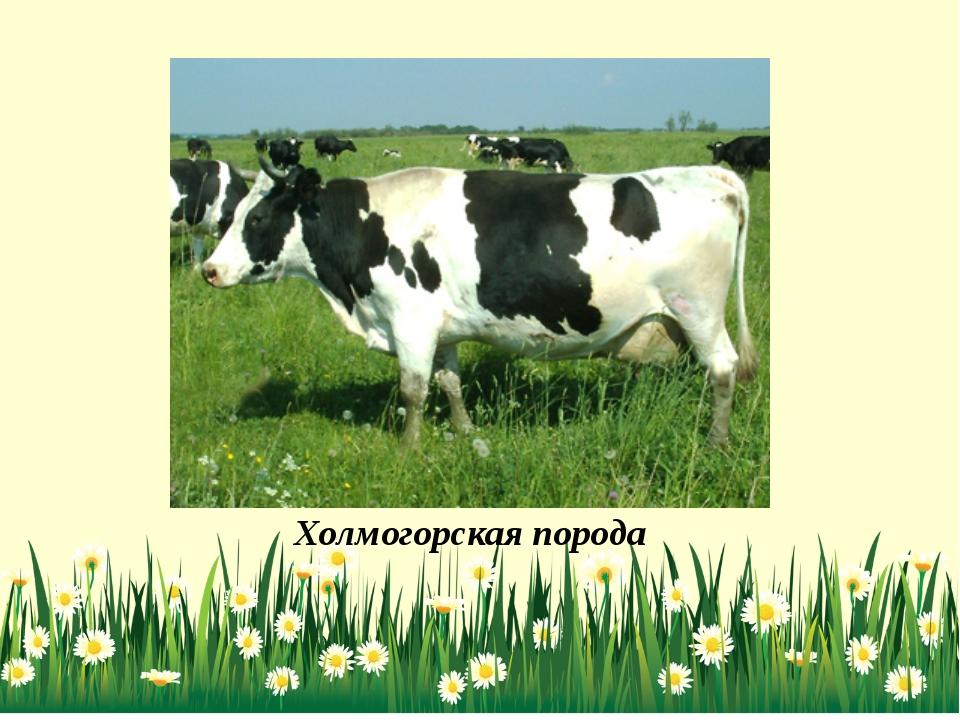 Холмогорская порода коров: описание, характеристика, содержание