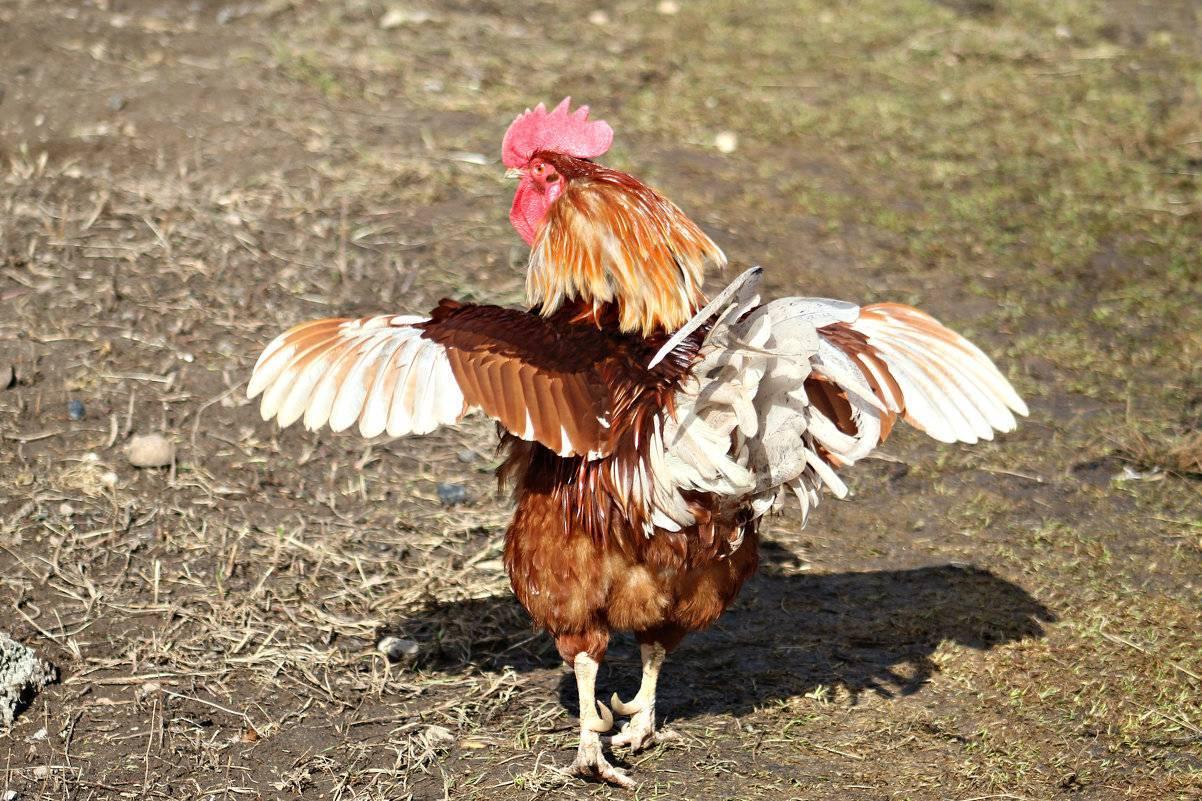 ✅ о петухе: сколько птица живет, почему кукарекает (факты, полезные советы) - tehnomir32.ru