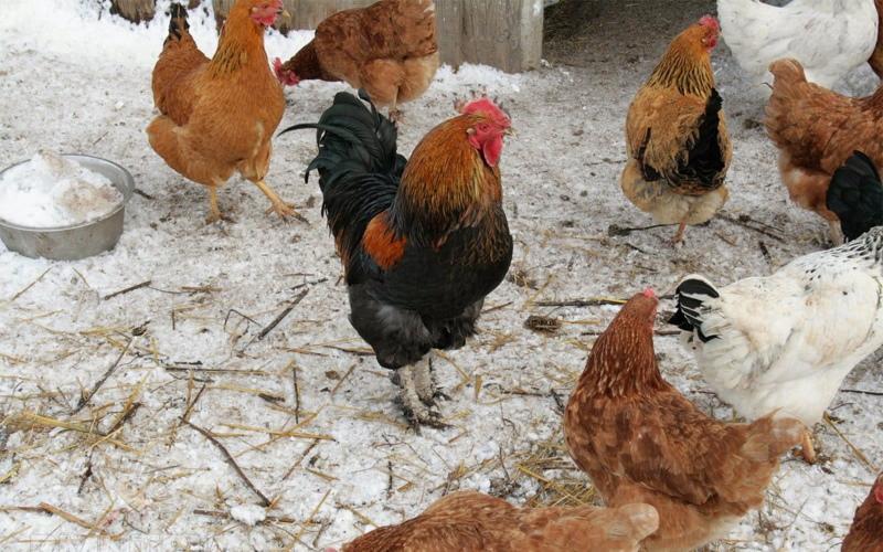 Почему куры перестали нести яйца осенью: причины и что делать