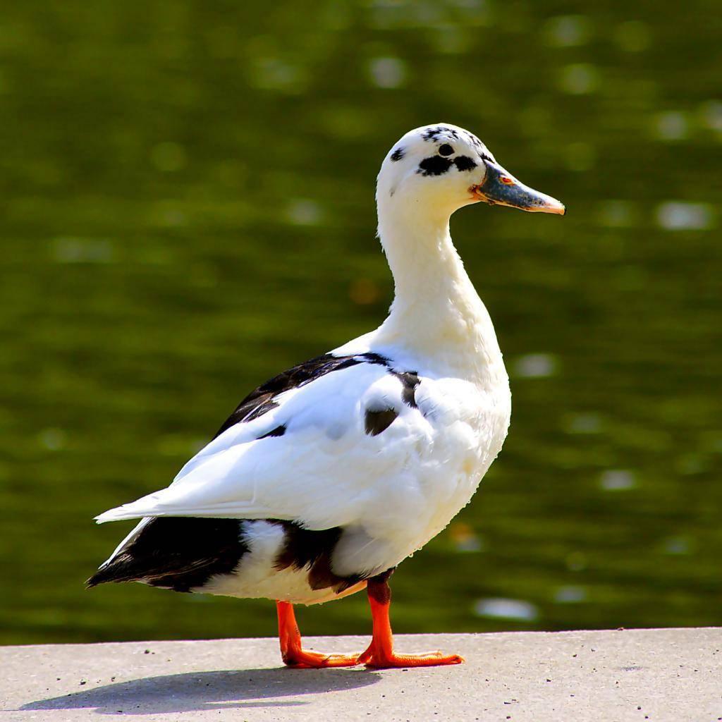 ✅ о породе черных уток: как называется, описание, где обитает птица - tehnomir32.ru