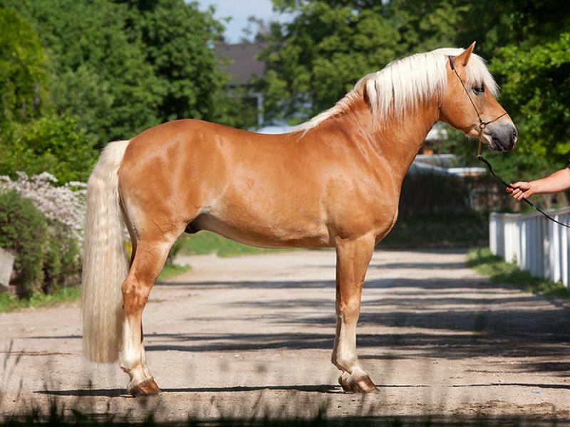 Буланый конь (30 фото): что это за цвет? описание масти лошади
