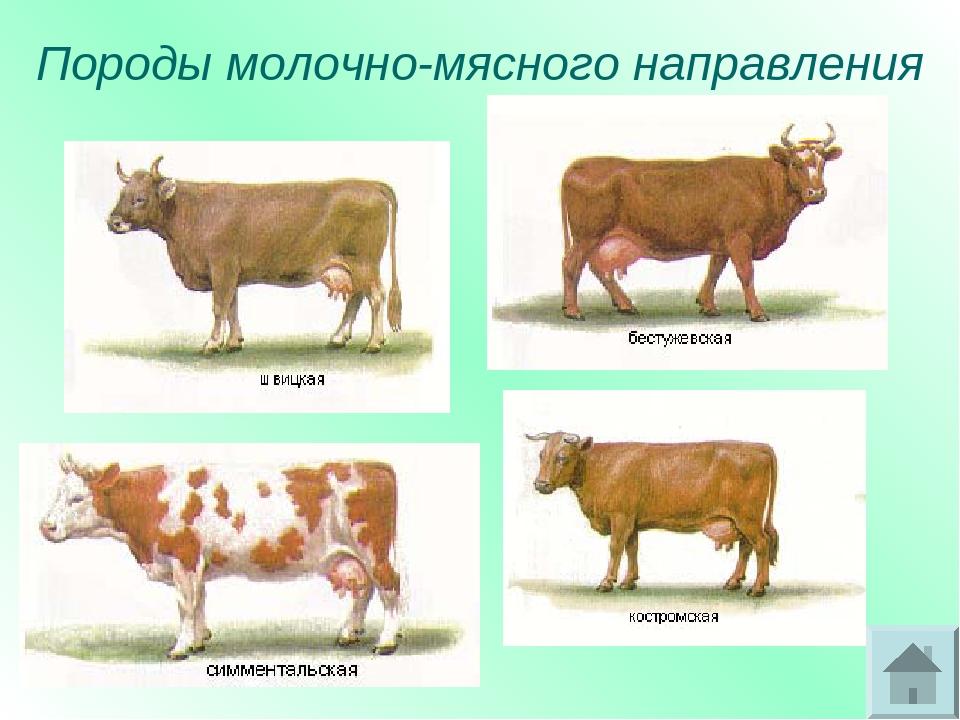 Мясные породы крс — обзор и характеристики