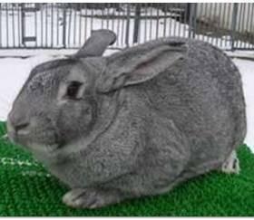 Шиншилловый кролик: описание породы, содержание и уход