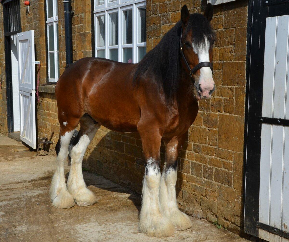 Порода лошадей русский тяжеловоз (18 фото): характеристика породы, описание взрослых коней. инструкция по бонитировке тяжеловозных лошадей