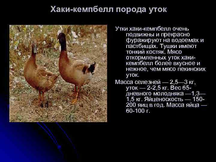 Пекинские утки выращивание в домашних условиях отзывы; описание; характеристика