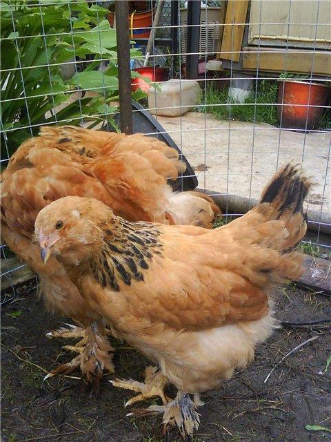 Курица сибирская мохноножка — описание, продуктивность, содержание и кормление