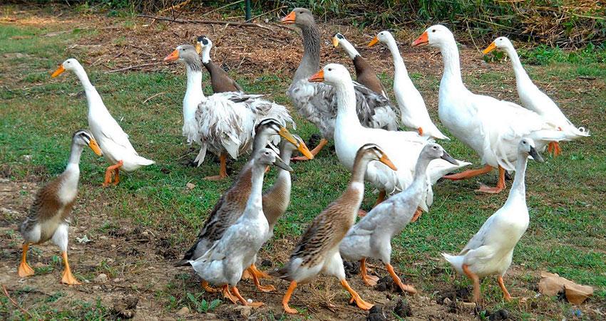 Утка индийский бегунок - продуктивность, содержание, разведение