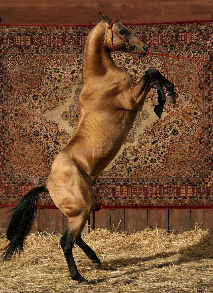 Характеристика и особенности ахалтекинской породы лошадей