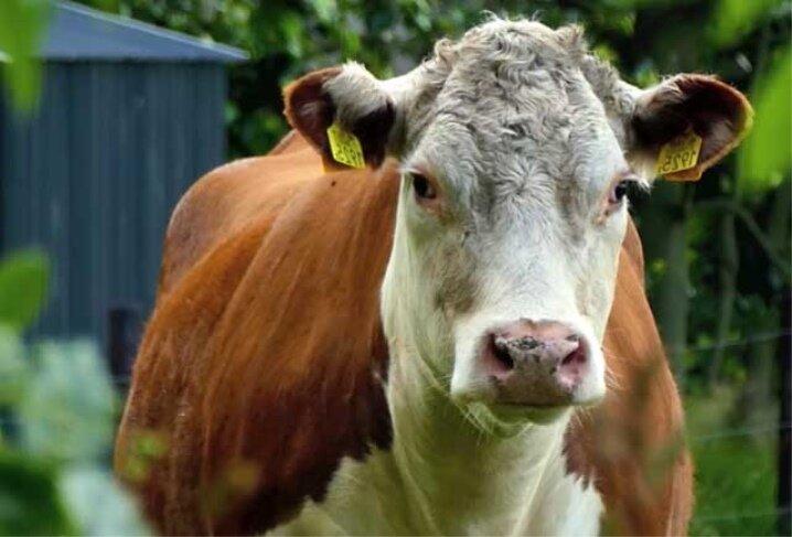 Кто такие яловые коровы и как решить проблему неоплодотворенности