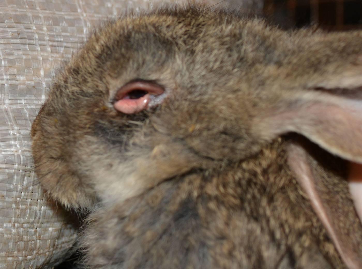 ᐉ у кролика слезится глаз что делать - zoomanji.ru