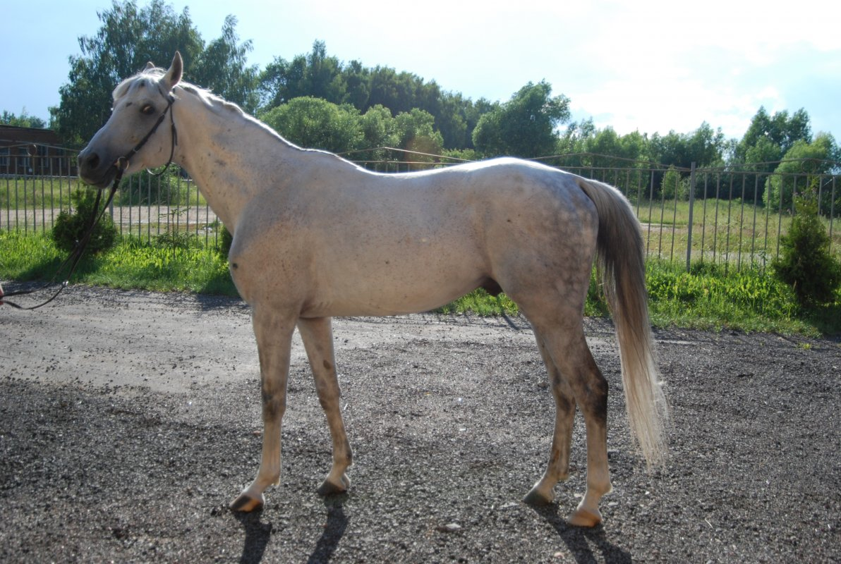 Чем отличается конь от лошади – кастрированный жеребец