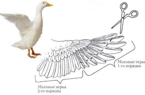 Как подрезать крылья индюкам?