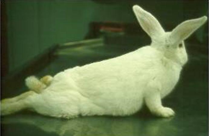 ᐉ у кролика отказали задние лапы: что делать, возможные причины - zooon.ru