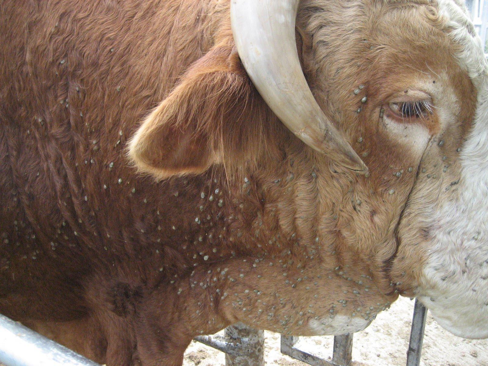 Суставы крупного рогатого скота