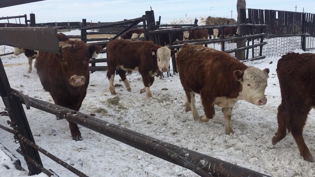Бизнес-план по выращиванию бычков