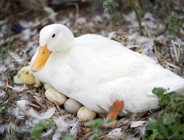 Мулард (50 фото): описание породы уток и выращивание в домашних условиях, разведение птицы для начинающих и кормление утят. чем и как правильно их кормить в первые 3 недели? отзывы