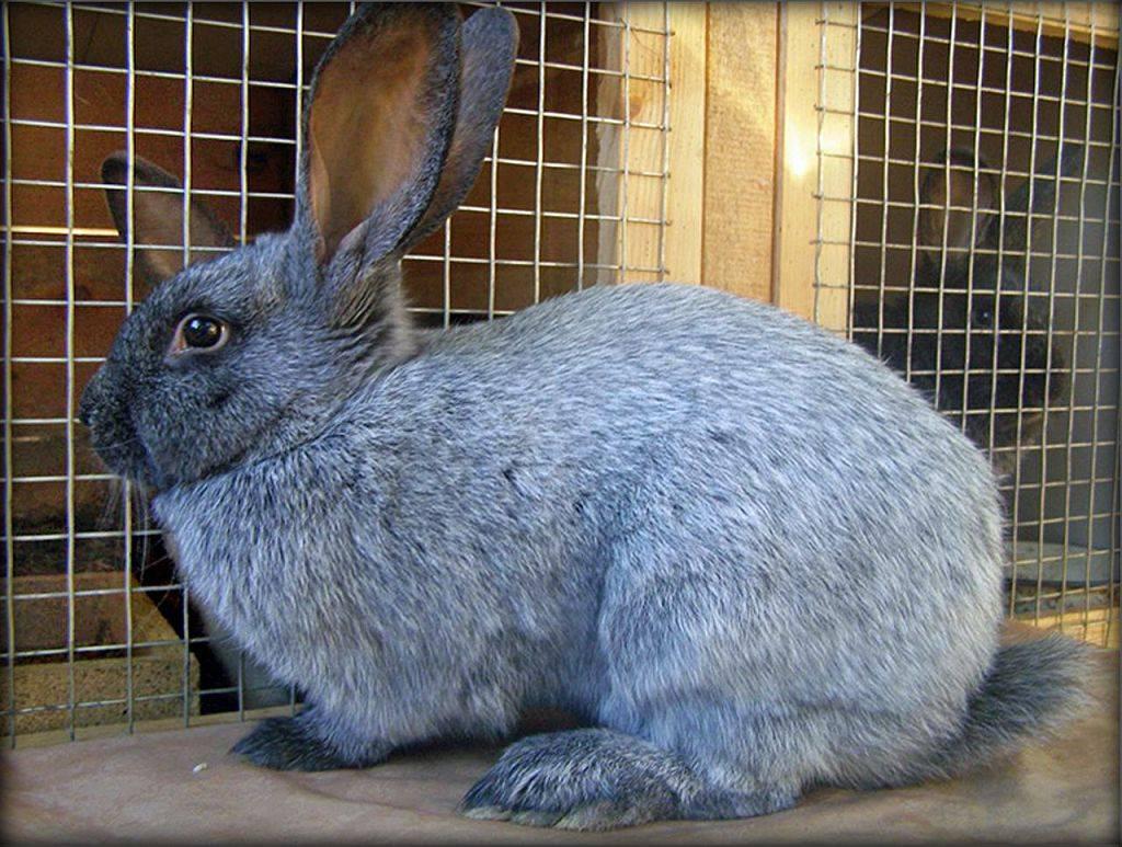 Описание и характеристики кроликов венской голубой породы, правила ухода