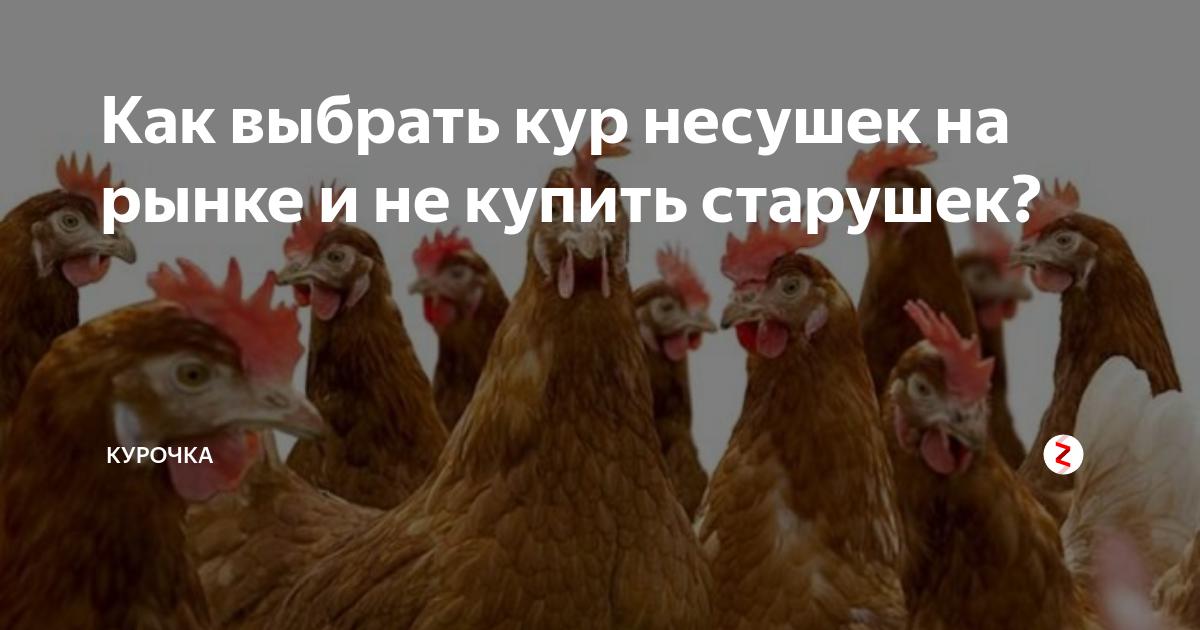 Как определить возраст курицы несушки, как узнать возраст петуха