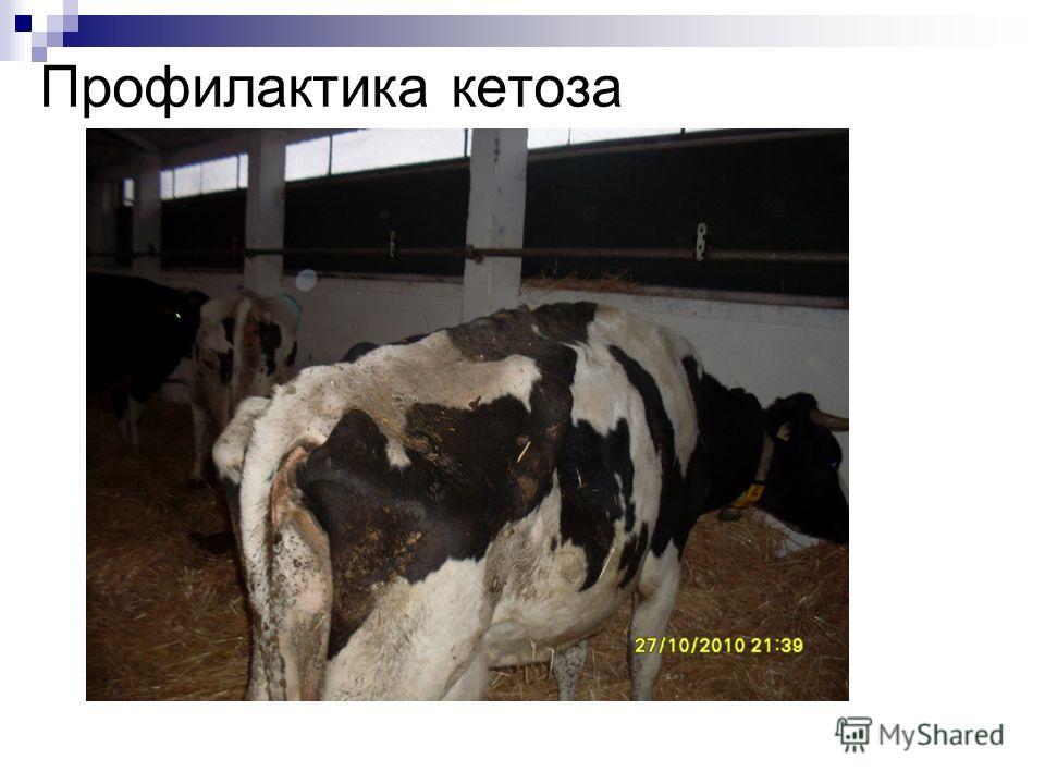 Кетоз у коров: симптомы и лечение, что это такое
