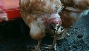 У курицы выпал яйцевод: что делать и чем помочь птице?