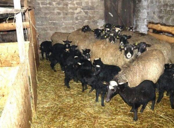 Характеристики романовской овцы