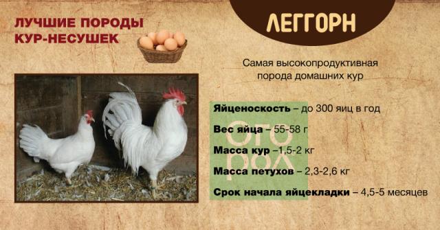 Выбор породы кур для дачи - мясные или яичные.