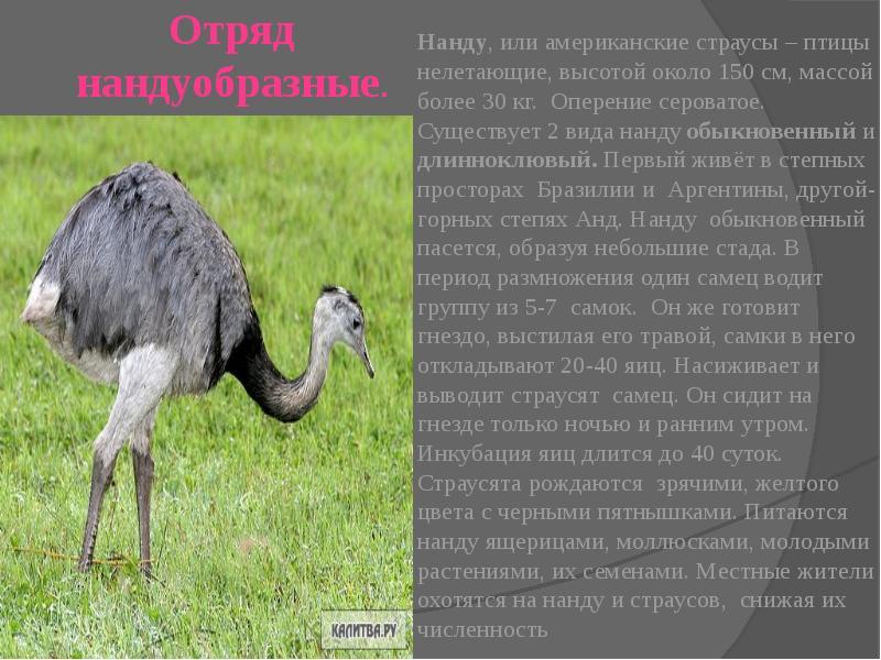 Все о страусах: это птица или животное, описание, характеристики, |