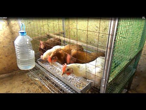 Как наладить правильное содержание домашней птицы: клетки для кур-несушек