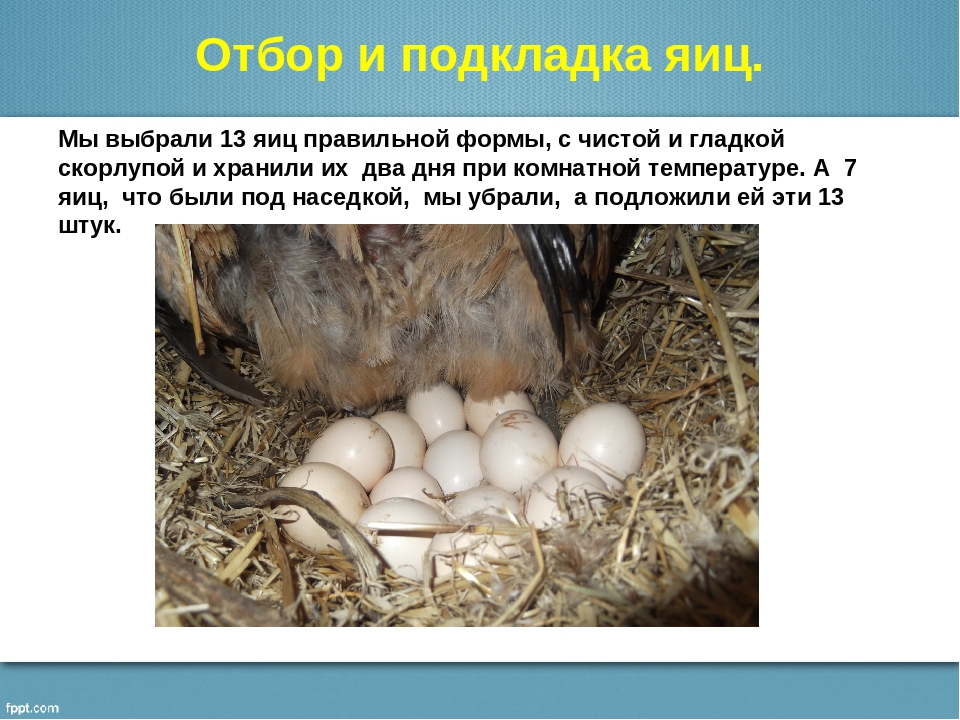 Нюансы высиживания яиц у курицы-несушки, выводим цыплят