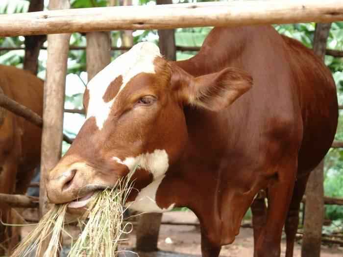 Яловая корова: что это значит и почему не осеменяется, можно ли раздоить