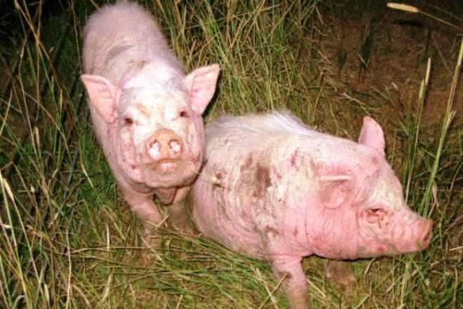 Здоровье и здоровый образ жизничесотка у свиней лечение