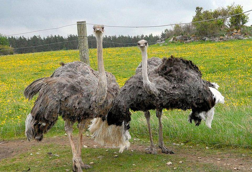 О разведении страусов