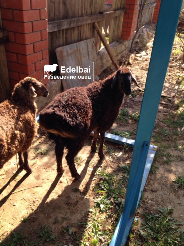 Обзор овец эдильбаевской породы, их разведение и фото