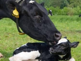 Как вылечить яловую корову