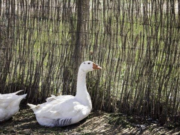 Породы гусей (51 фото): мясные виды с названиями, черные, итальянские, тульские породы с описанием, особенности разведения в домашних условиях