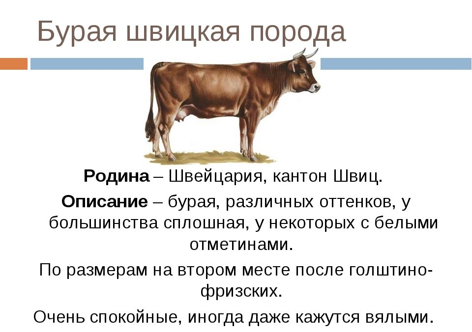 Характерные особенности лимузинской породы, правила ухода за коровами