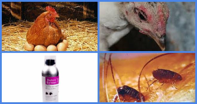 Куриный клещ – опасный гость птичьего дома