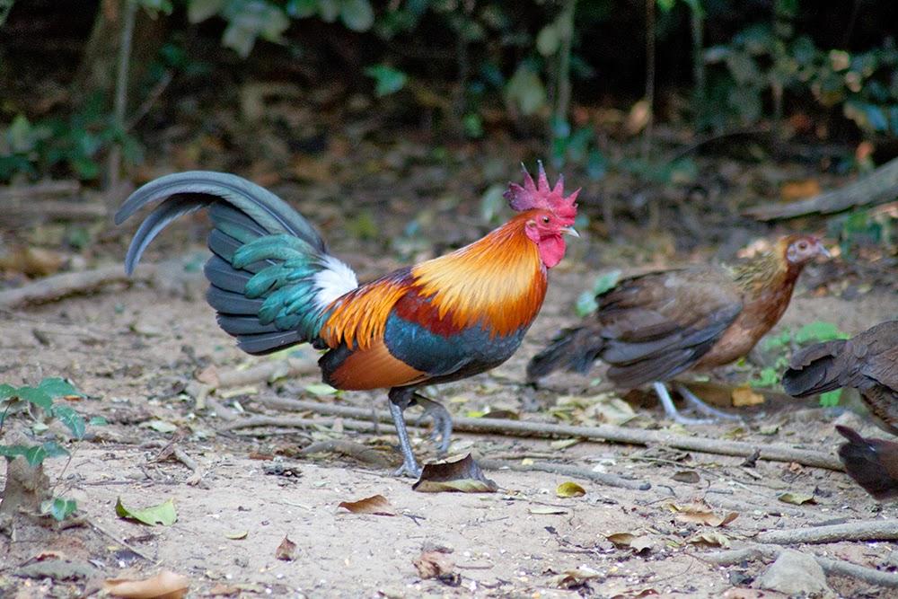 Банкивская джунглевая курица — википедия