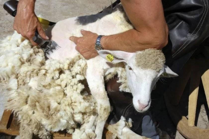 Чем кормить овец? рацион в домашних условиях
