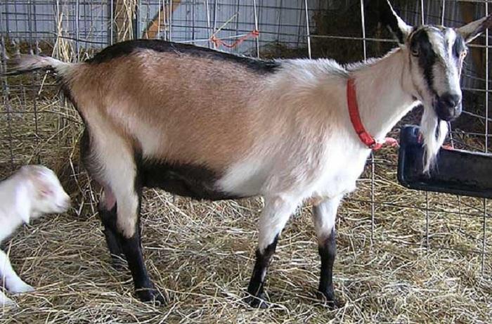 Альпийские козы - 80 фото породистых коз и особенности ухода за ними