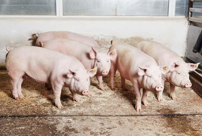 Свинья крупная белая: происхождение породы и перспективы разведения — cельхозпортал