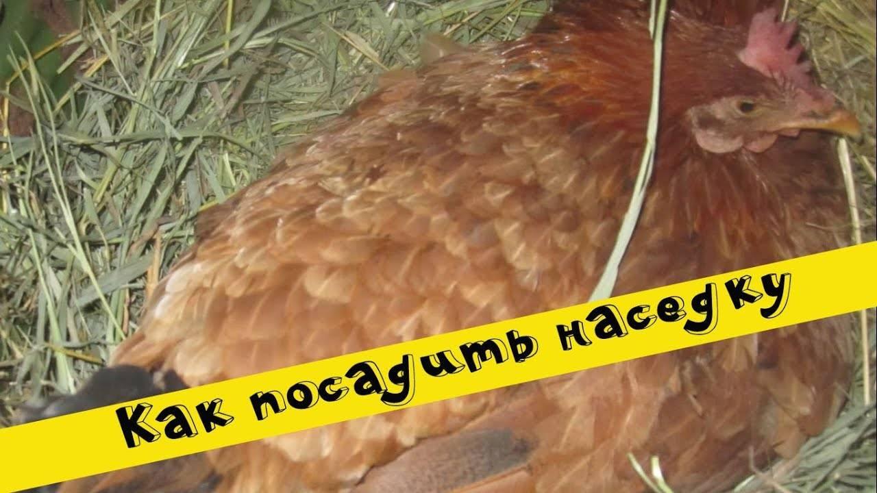 Курица-наседка: признаки материнского инстинкта и как его разбудить