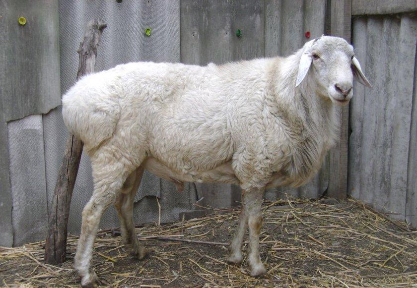 Курдючные овцы: вес барана в среднем, разновидности пород, уход и содержание