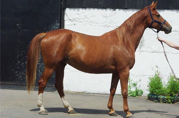 Тракененская лошадь: описание, характеристики породы, фото