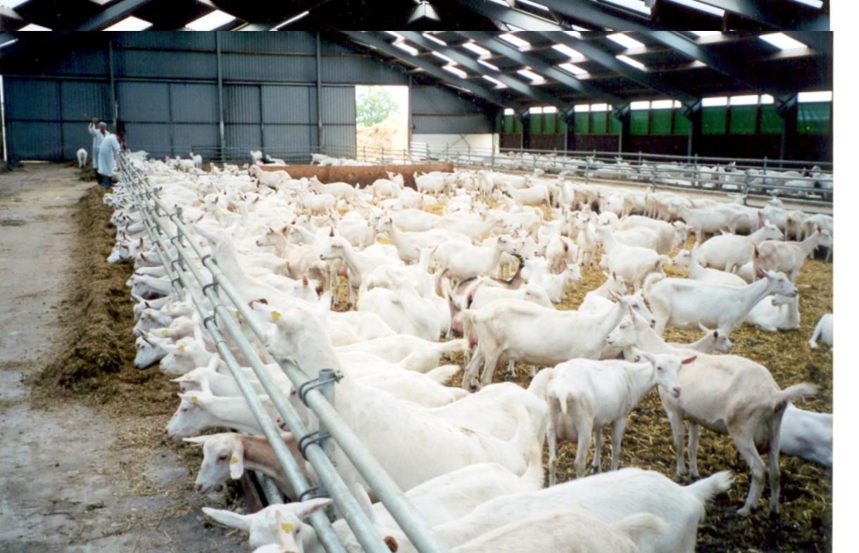 Дойная коза: стоимость животного, правила содержания, методы повышения удоя