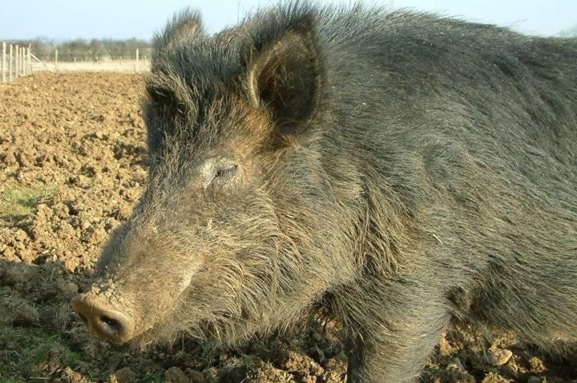Порода свиней кармалы: описание, характеристика, уход, отзывы