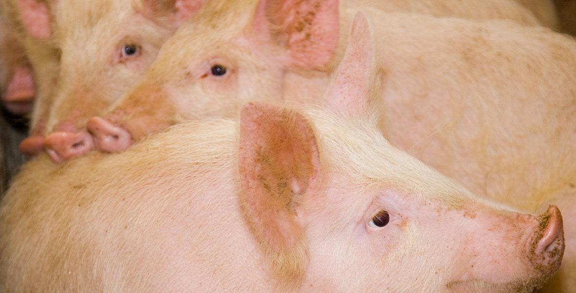 Рожа у свиней: симптомы, лечение, профилактика