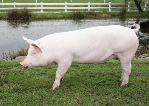 Украинская степная белая порода свиней – стандарты, откорм, содержание 2020
